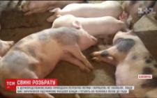 На Буковині чоловік організував підпільну свиноферму посеред містечка (відео)